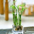 Bamboo de la Suerte, Usa