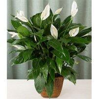 Spathiphyllum Plant, Usa