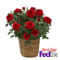 Red Rose Bush, New York
