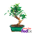 Ficus Bonsai, Texas