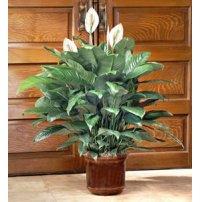 Serene Peace Plant, -Usa