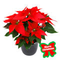 Poinsettia`s Holiday, Chile