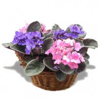 African Violet Basket, New York