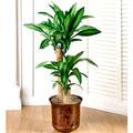 Mass Cane Plant, Usa