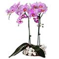 Orquidea Phalaenopsis, Rep. Dominicana